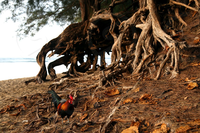 rooster walking beside brown large tree roots  photo