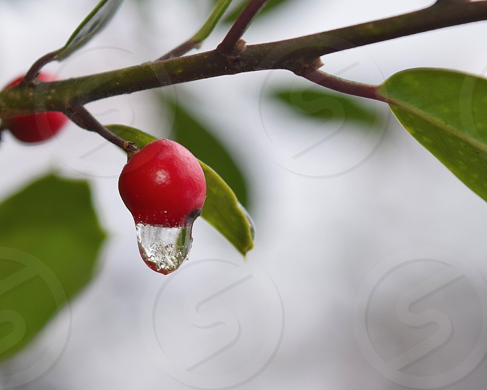 Never let go!  Drop of water falling from a fruit in winters and gets frozen.  Water drop snow fruit frozen leaves tree red green winters photo