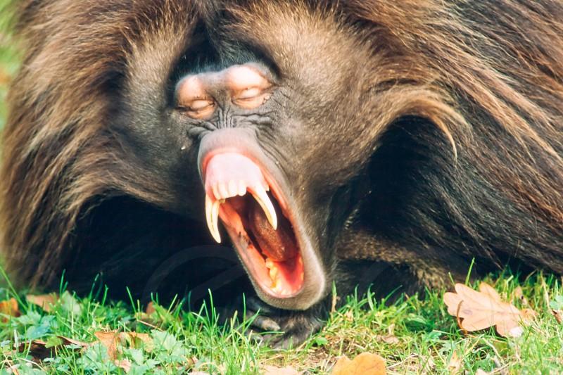 Sleepy male gelada baboon monkey Theropithecus gelada yawning showing impressive jaws and teeth photo