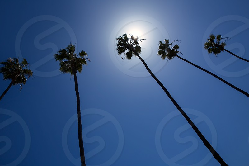 California high palm trees group on blue sky photo