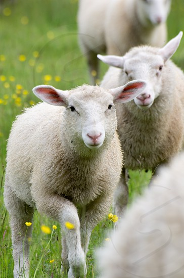 Salt Spring Island Sheep photo