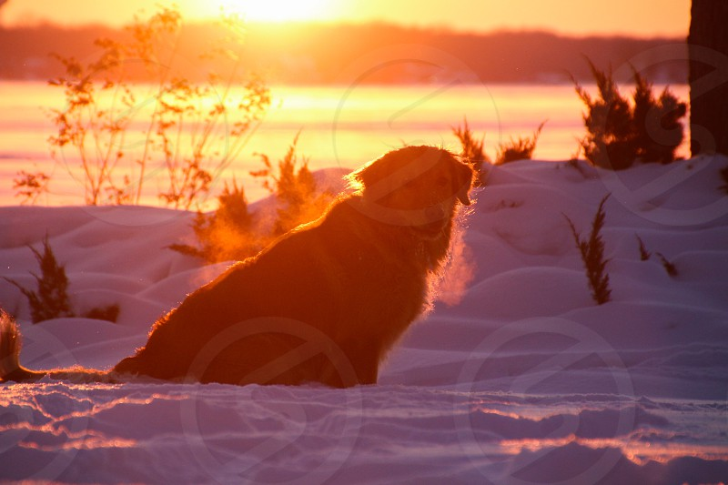 A Golden Retriever soaking up the last few minutes of sunlight on a cold Christmas evening. photo