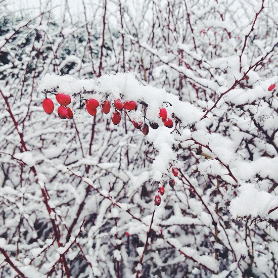 snow covered red round fruit photo