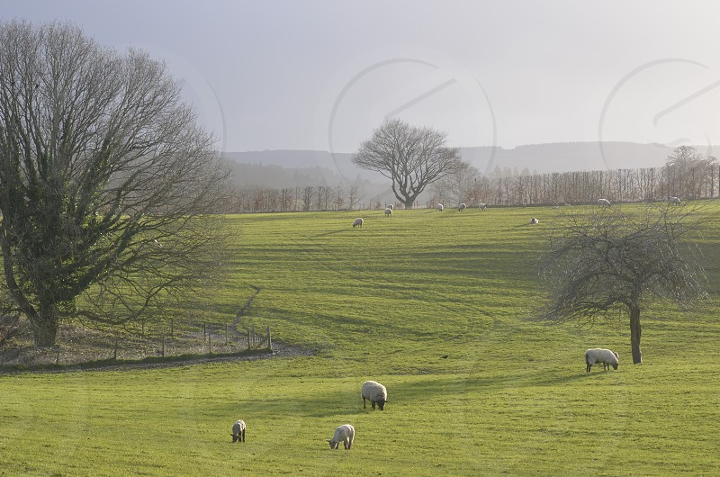 sheep ranch photography photo