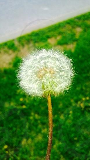 shallow focus photography of white dandelion photo