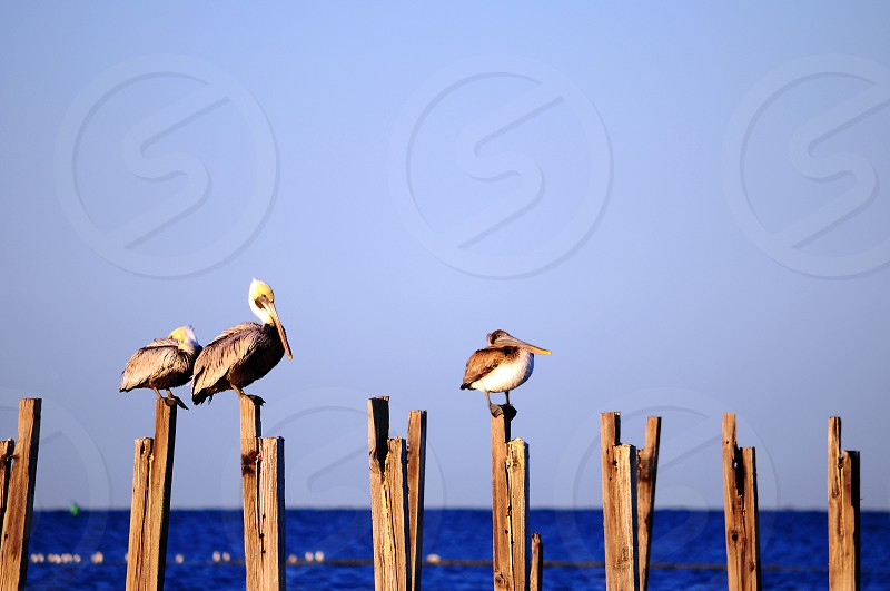 Pelicans resting in the sunlight. Blue water clear sky. photo