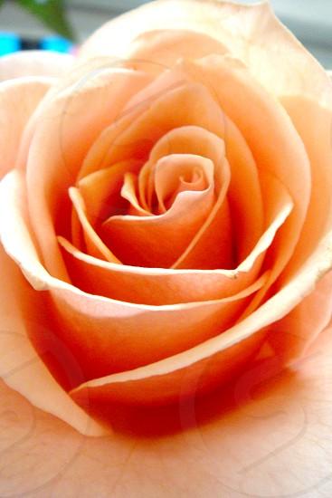 Soft peach colored rose photo