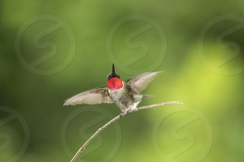 Male hummingbird - North Carolina photo