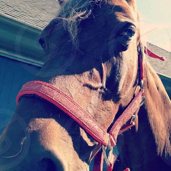 Rocky Mountain horse  photo