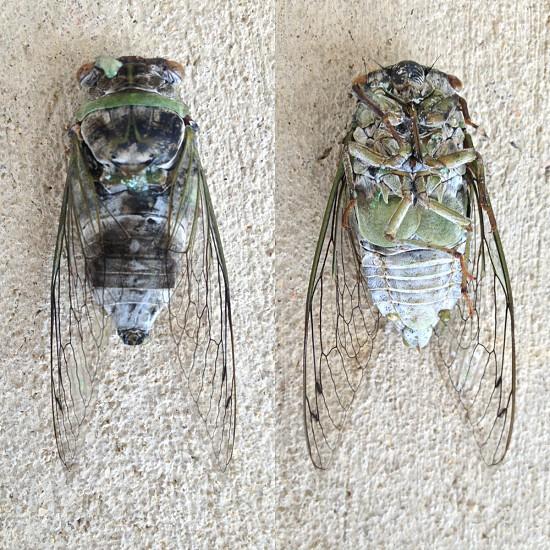 Dead Cicada  photo