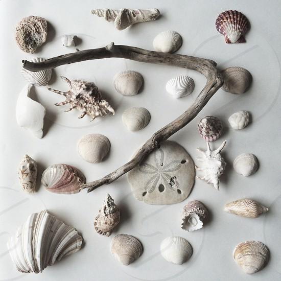 assorted white gray shells sand dollar driftwoo photo