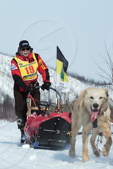 KAMCHATKA RUSSIA - MARCH 9 2013: Running dog sledge team Kamchatka musher Revenok Vladislav. Traditional Kamchatka extreme Sled Dog Racing Beringia. Russian Federation Far East Kamchatka Peninsula. photo