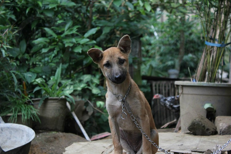 A dog in Indonesia looking at the camera. photo