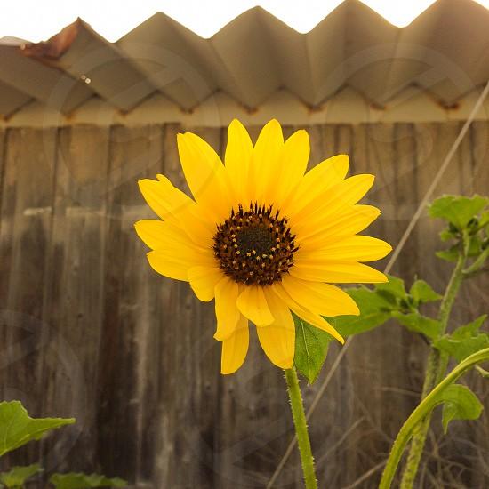 yellow daisy flower photo