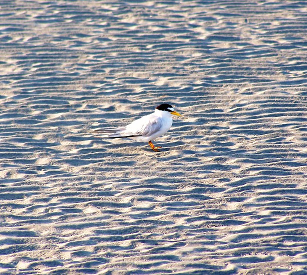 seabird standing in the sand photo