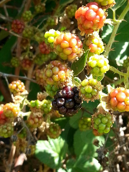 berries black ripening wild delicious summer fruit photo