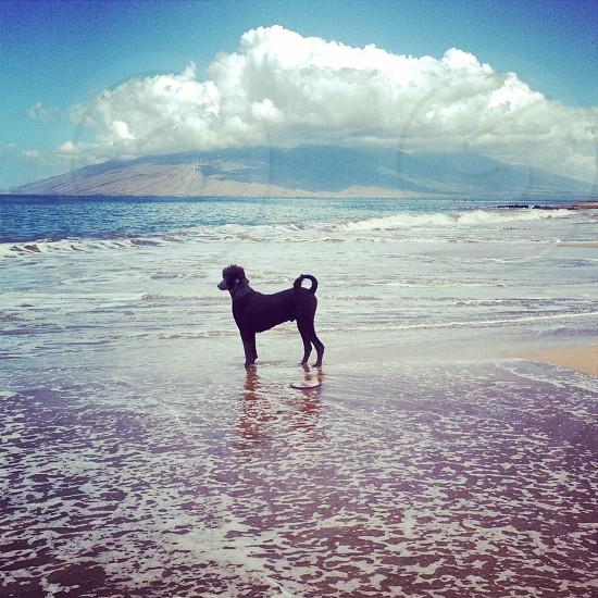 black coat poodle dog on beach strand photo