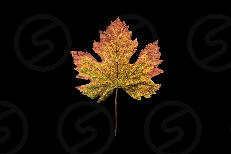Autumn dried leaf of a plant on a black background photo