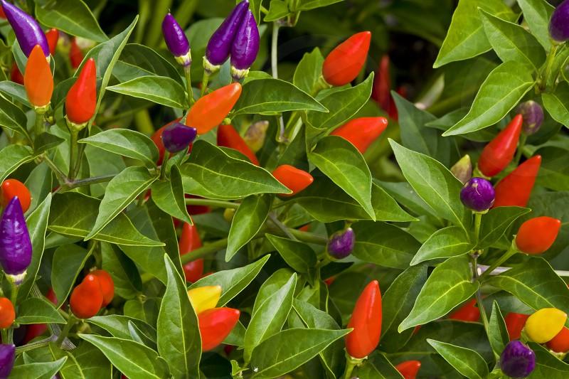 ornamental pepper plant photo