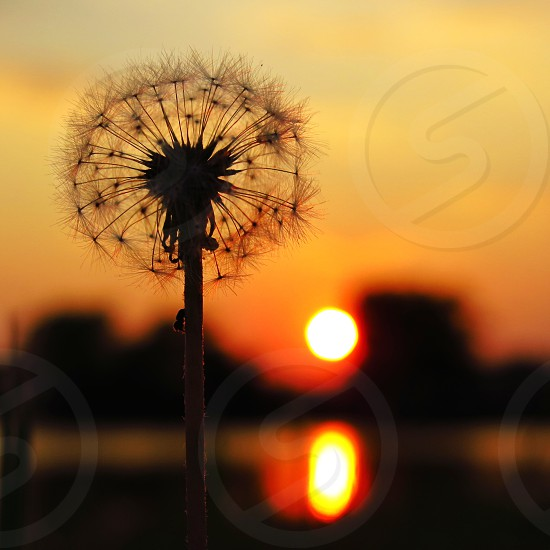A dandelion stands agains the setting sun. photo