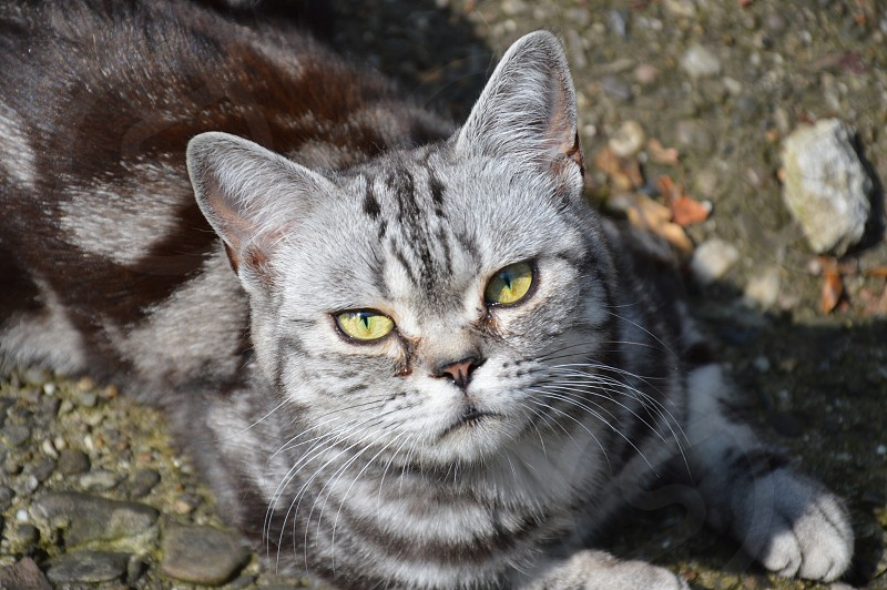 grey and black striped cat photo