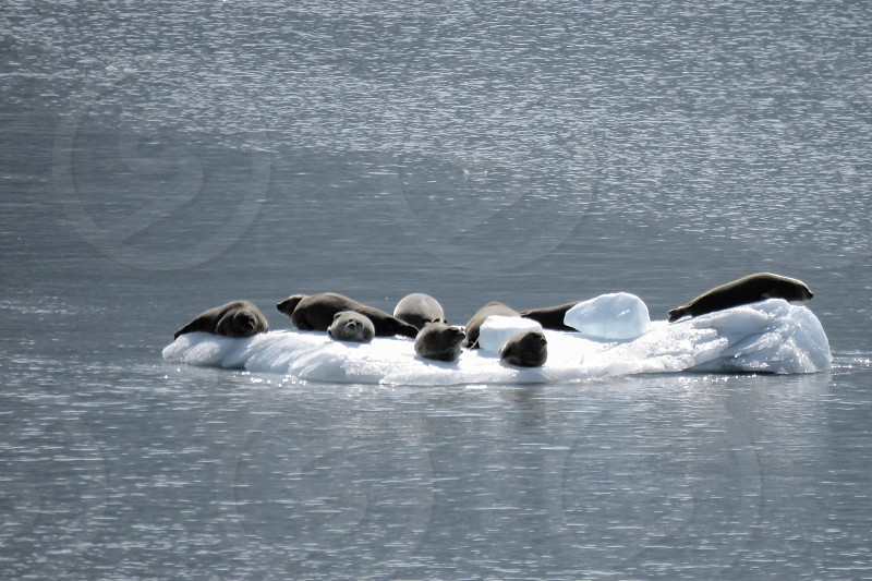Sea Lions On Iceberg. Life as we know it is changing. It really affects sea animals as the ice melts. Nature is beautiful.  photo