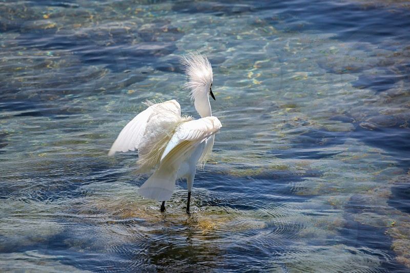 A Wild Egret on the Atlantic Ocean Florida USA photo