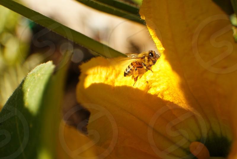 Bee flower squash pollination nature farm urban farming crops light  photo