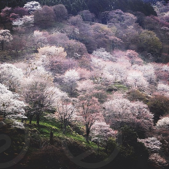 purple flowering tree field on side of rolling hills photo