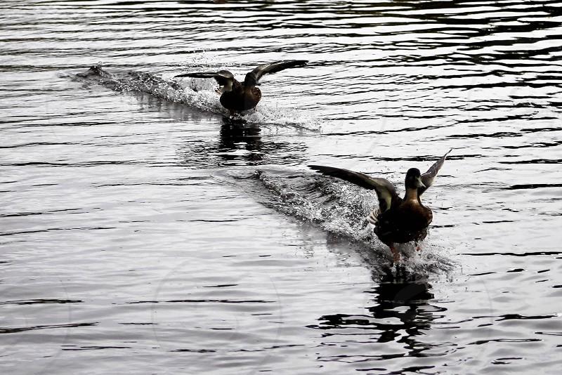 Safe landing duckdrakelandingflightwater photo