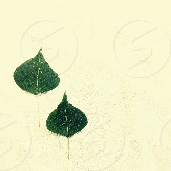 white-veined green leaves photo