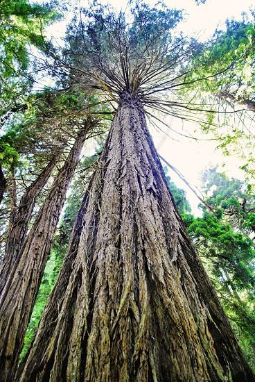 tall treesSan FranciscoCaliforniatrunkbarknatureleavesgreen photo