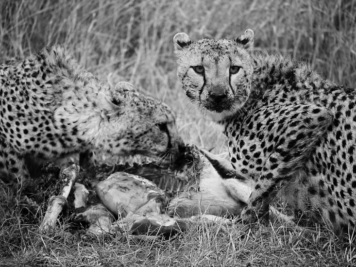 a cheetah photo