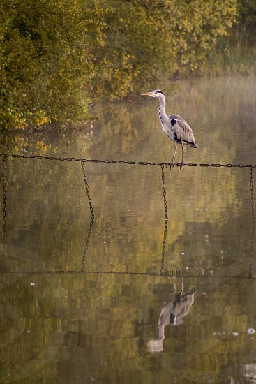 A heron standing on a chain and reflected in the water on a misty autumn morning photo