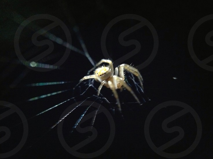 yellow and grey orb weaver spider photo
