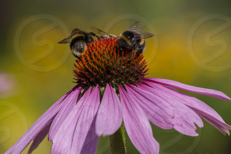 Two bees on a coneflower photo