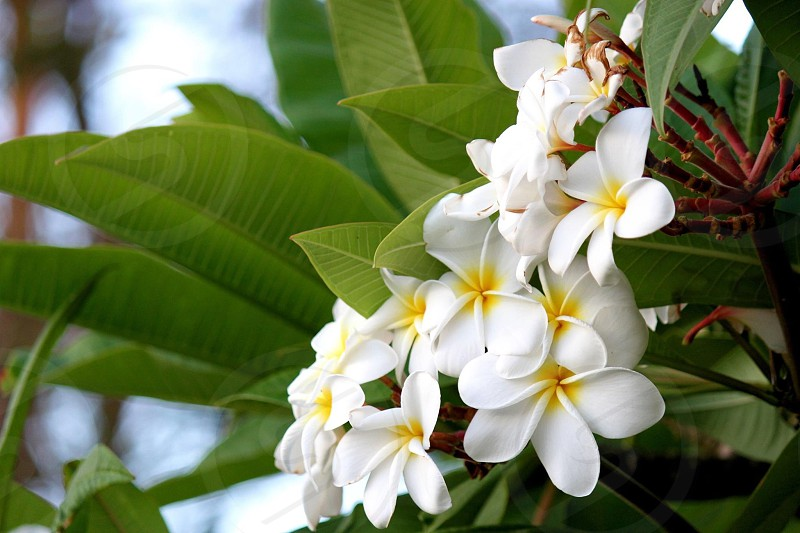 Plumerias in Hawaii photo