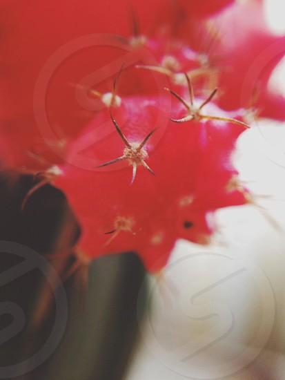 Red cactus up close photo