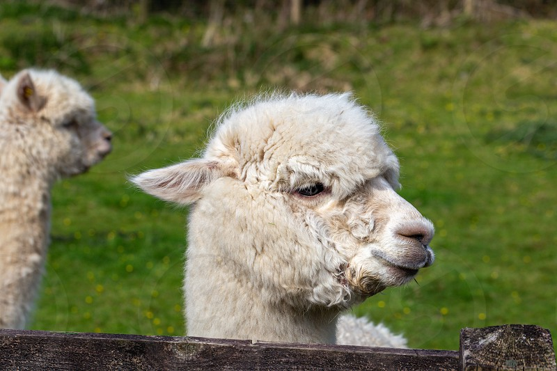 A close up image of an Alpaca of Andean origin photo