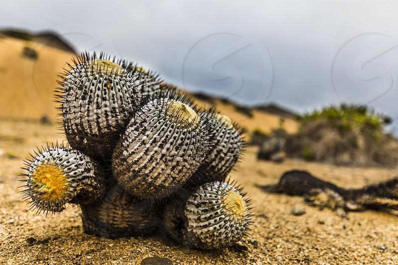 A Copiapoa Cactus inside Sugar Loaf National Park at Atacama Desert Chile  photo