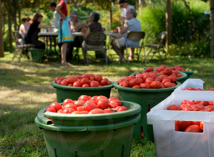 red tomatoes in green and white plastic bins on green grass with people sitting at a picnic table by trees in the distance photo