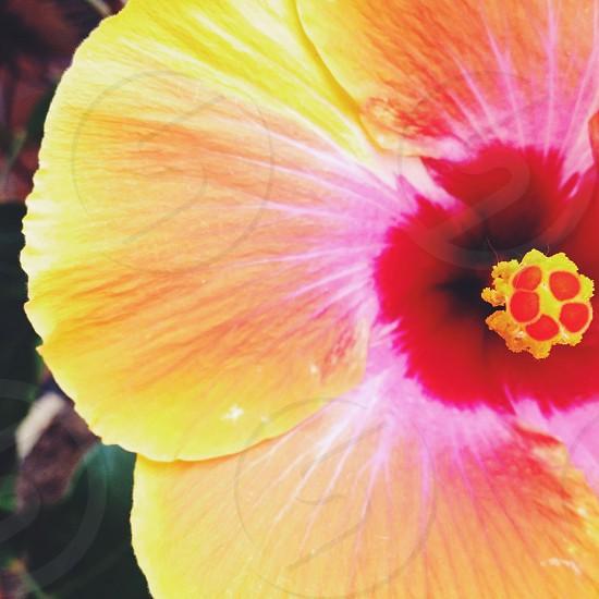 yellow hibiscus photo