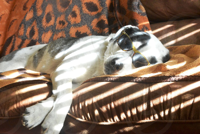 white and black short haired puppy wearing green framed sunglasses while lying on brown couch photo
