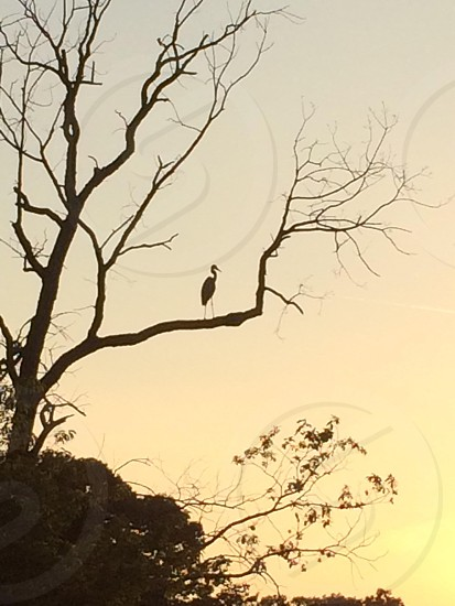 Heron sitting on a tree behind our house. Summer sunset by the water photo