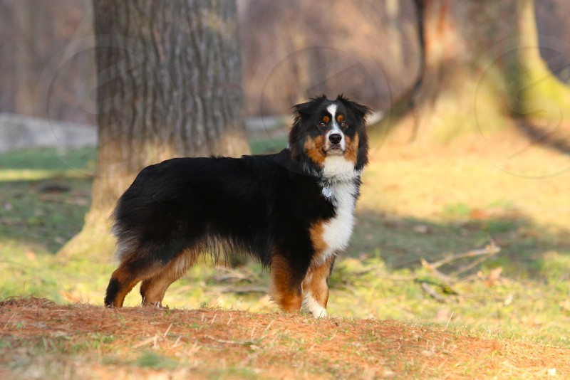Dog park australian shepherd photo
