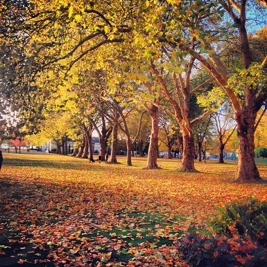 Yellow Leaves On Tall Trees photo