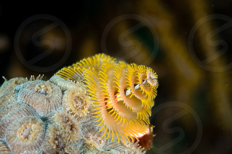 A yellow christmas tree worm on piece of coral in the Florida Keys. photo