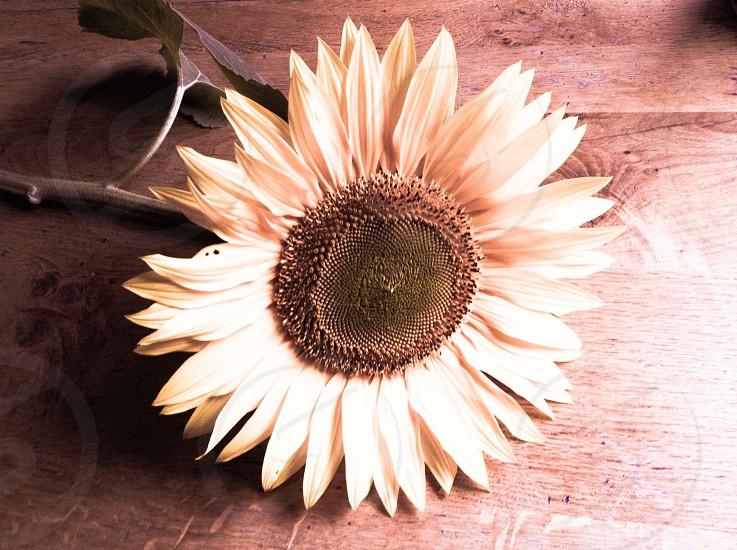 Soft sunflower sepia photo