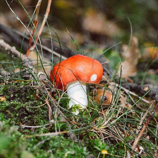 mushroom red nature photo