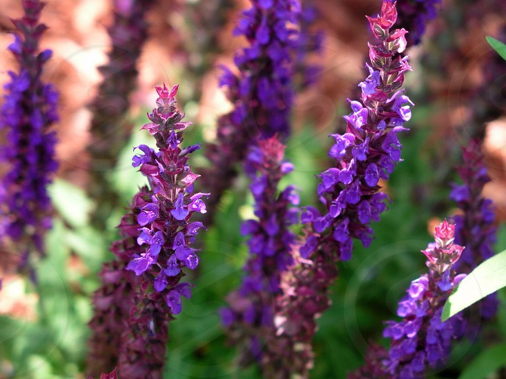 selective focus photography of purple lavender flowers during daytime photo